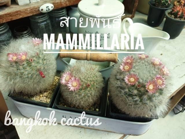 รู้จักกระบองเพชรสายพันธ์ Mammillaria