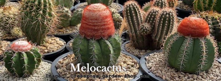 สายพันธุ์กระบองเพชร Melocactus