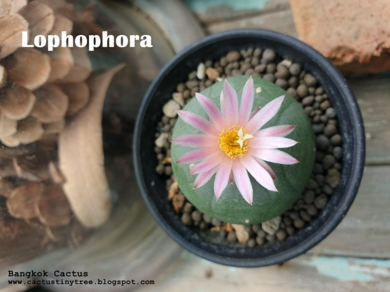 สายพันธุ์กระบองเพชร Lophophora