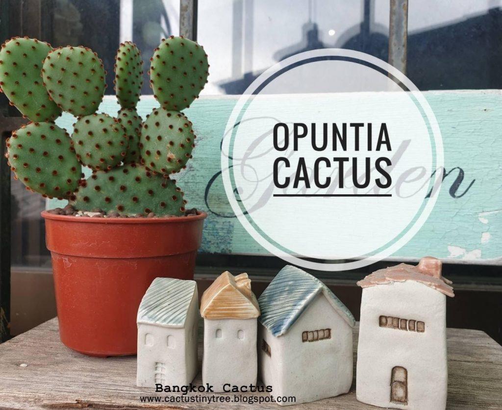 สายพันธุ์กระบองเพชร Opuntia Cactus